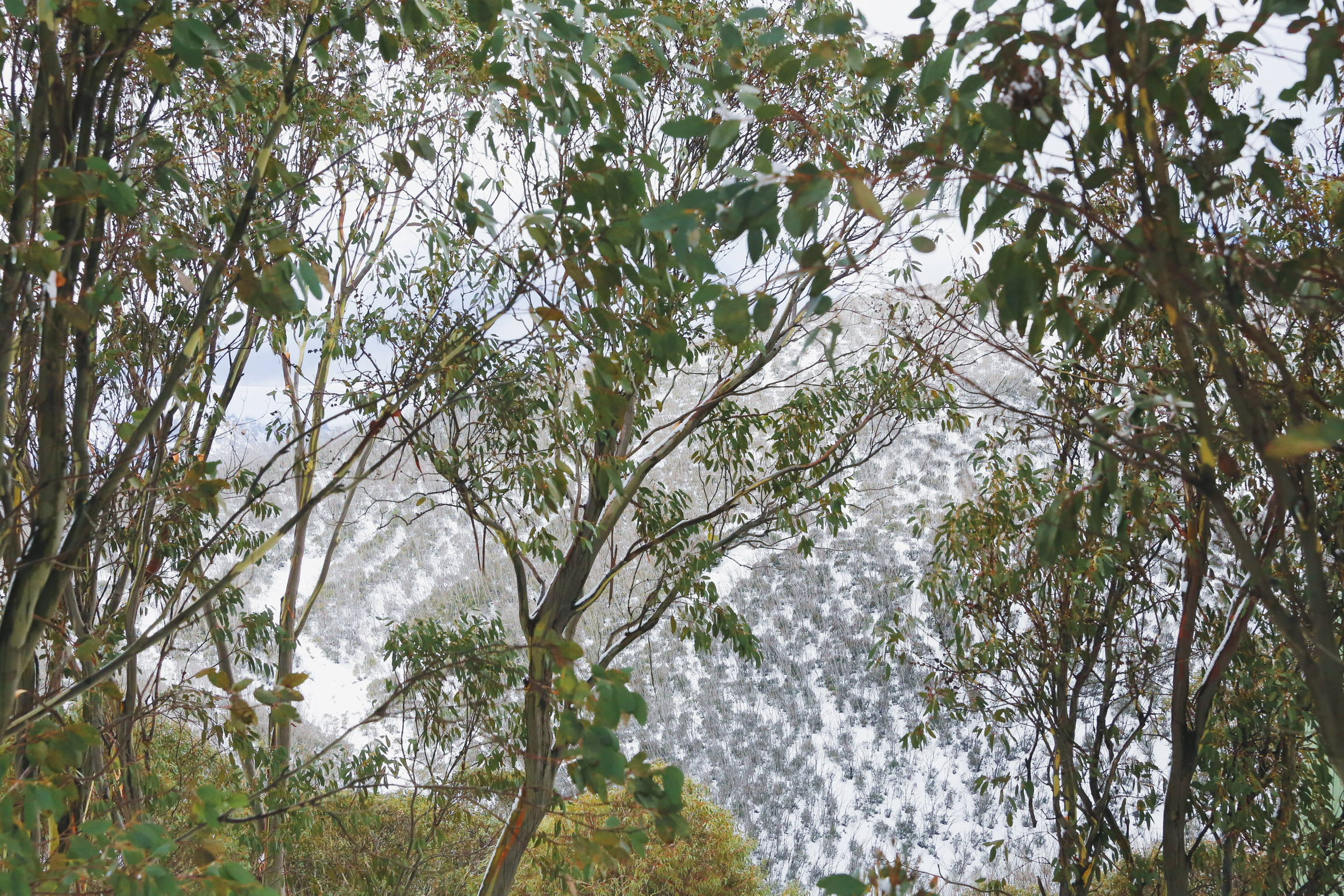 Gumtrees and snowy mountains